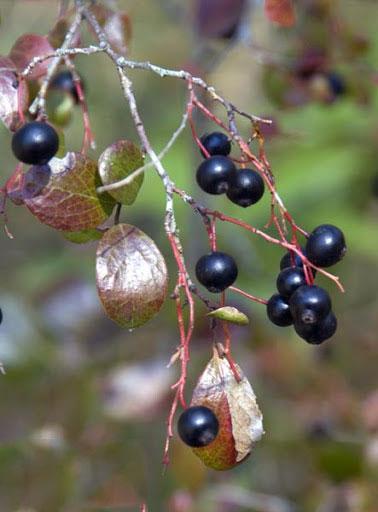 Mature-fruits-of-Farkleberry