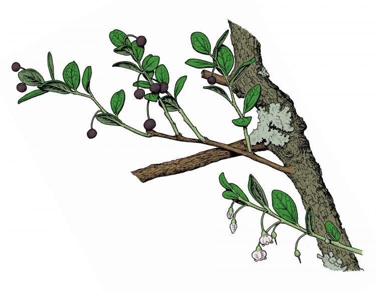 Plant-Illustration-of-Farkleberry