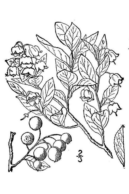 Sketch-of-Farkleberry