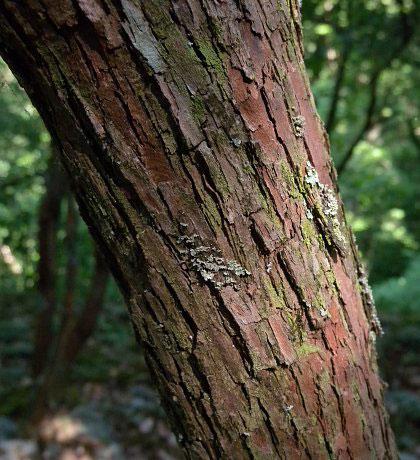 Trunk-of-Farkleberry-tree