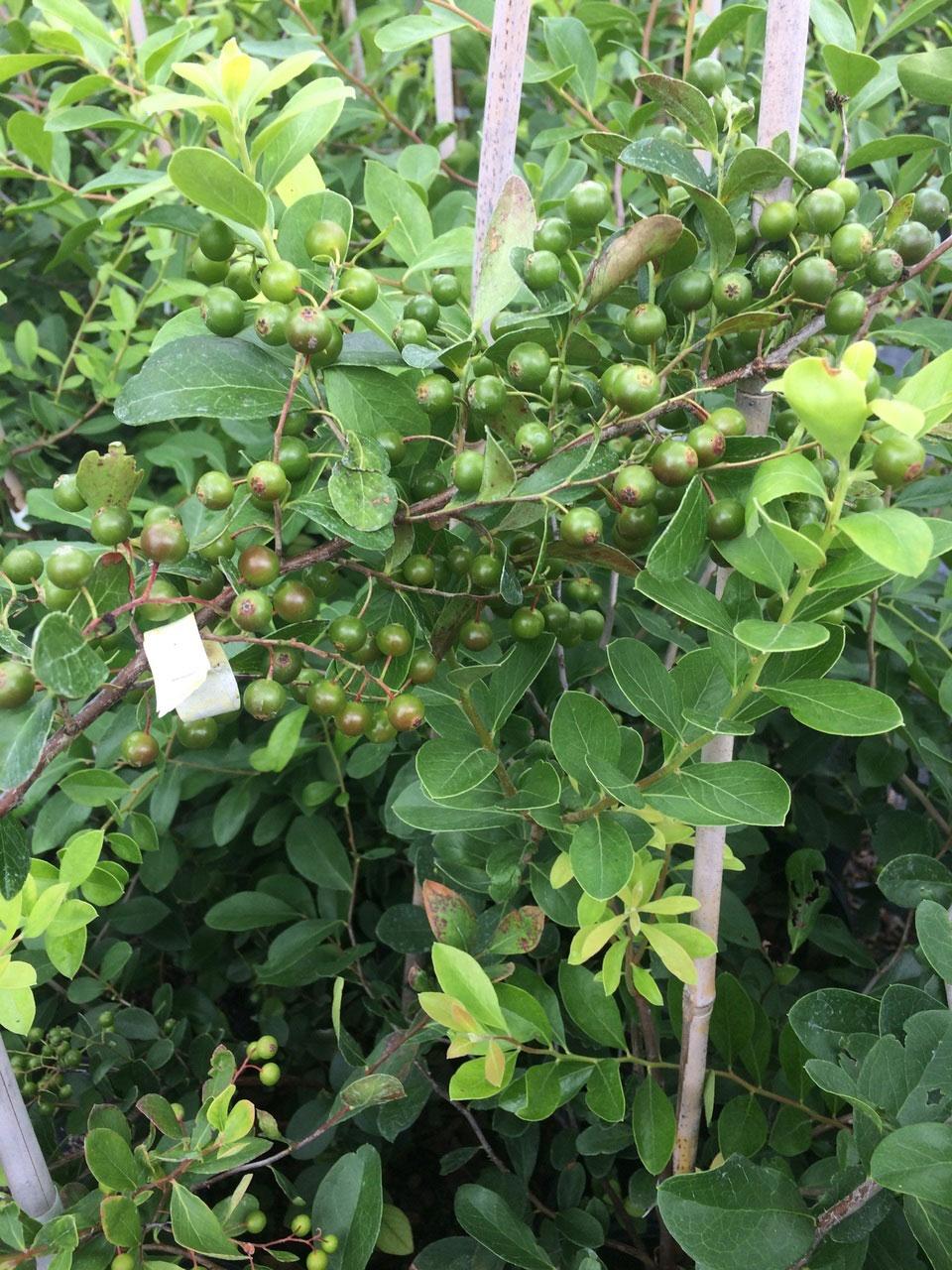 Unripe-fruits-of-Farkleberry