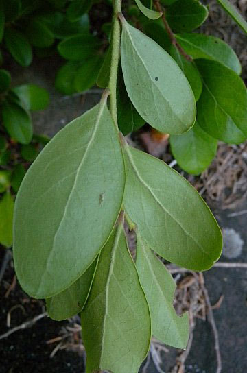 Ventral-view-of-leaves-of-Farkleberry