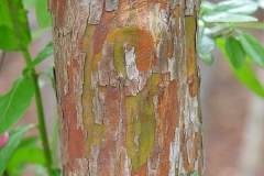 Bark-of-Farkleberry-tree