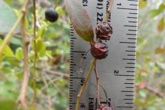 Dried-berries-of-Farkleberry