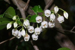 Flowers-of-Farkleberry