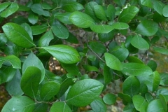 Leaves-of-Farkleberry