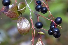 Mature-fruits-of-Farkleberry