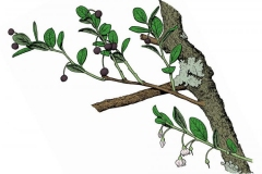 Plant-Illustration-of-Farkleberry