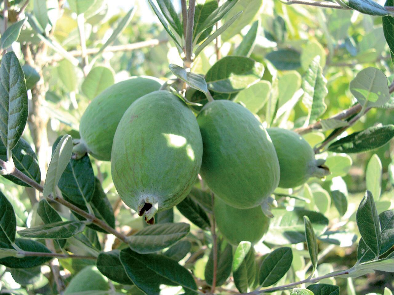 Feijoa-fruit
