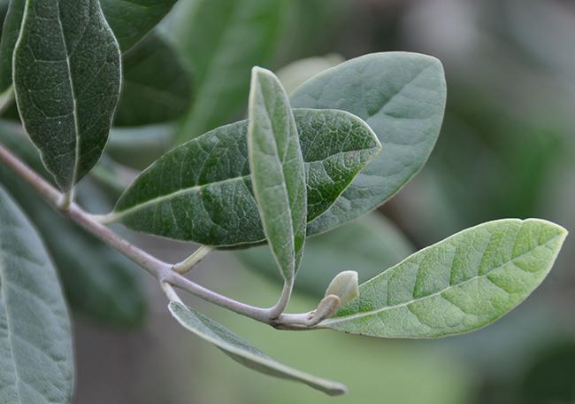 Leaves-of-Feijoa