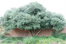 Feijoa-tree