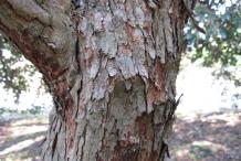 Feijoa-bark