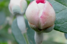 Flower-bud-of-Feijoa