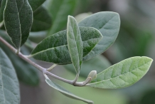 Leaves-of-Feijoa