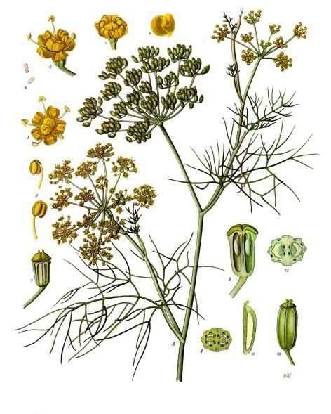 Plant-illustration-of-Fennel