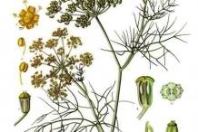 Plant-illustration-of-Fennel