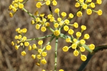 Close-up-flower-of-Fennel