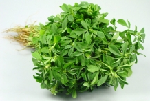 Leaves-of-Fenugreek