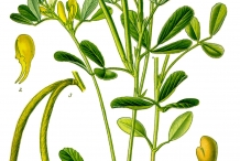 Plant-illustration-of-Fenugreek