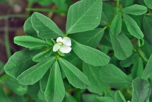 Close-up-flower-of-Fenugreek
