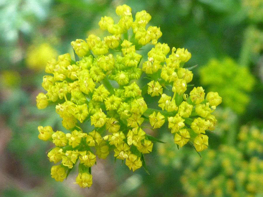 Flowers-of-Fernleaf-biscuitroot