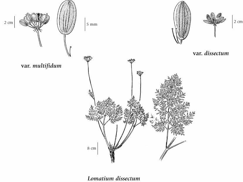 Plant-Illustration-of-Fernleaf-biscuitroot