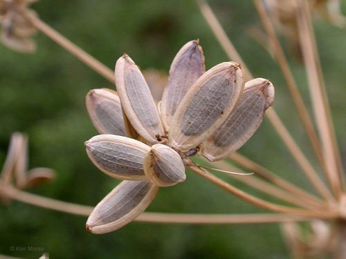 Seeds-of-Fernleaf-biscuitroot