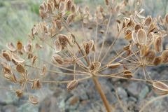 Dried-seeds-of-Fernleaf-biscuitroot
