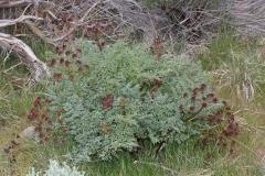 Fernleaf-biscuitroot-plant-growing-wild