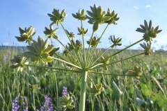 Immature-or-green-seeds-of-Fernleaf-biscuitroot