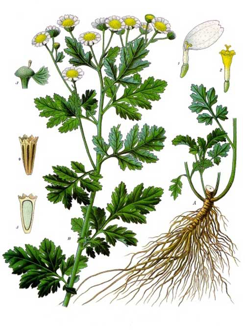 Feverfew-plant-Illustrations