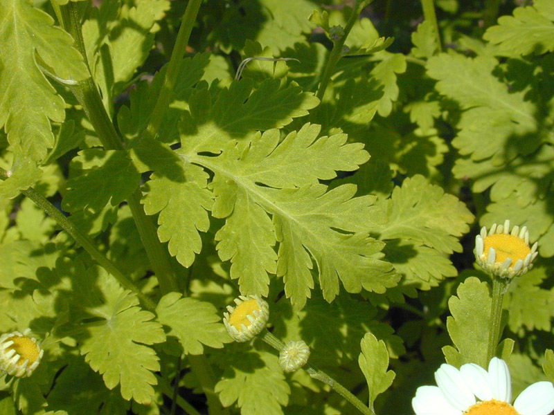 Leaves-of--feverfew-plant