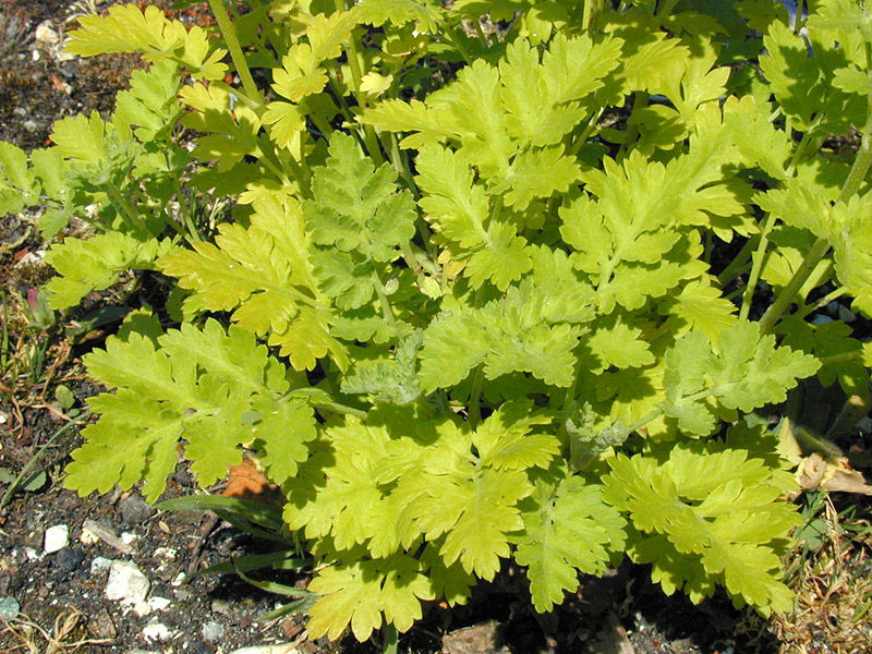 Small-feverfew-plant