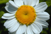 Feverfew-flower
