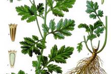 Feverfew-plant-Illustrations