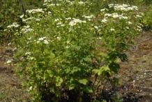Feverfew-plant