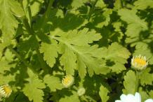Leaves-of--feverfew-plant