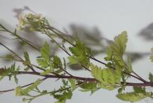 Stem-of-feverfew-plant