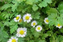 Feverfew-plant-bushes