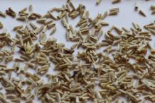 Feverfew-plant-seeds