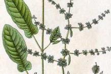 Plant-Illustration-of-Fiddle-dock