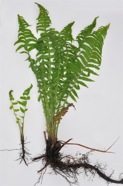 Fiddlehead-fern-plant
