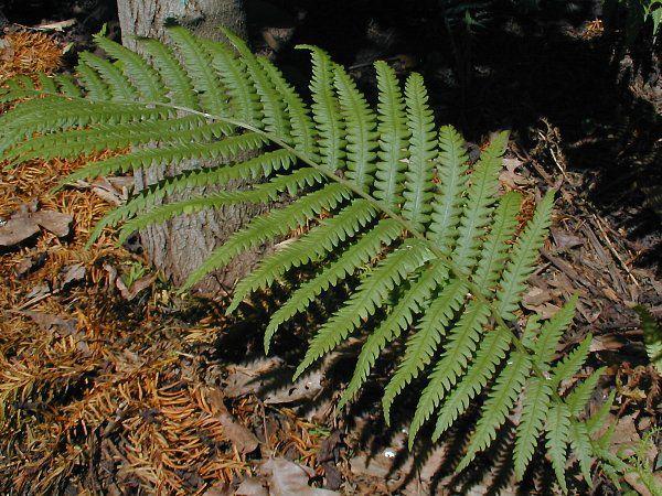Leaves-of-Fiddlehead-fern
