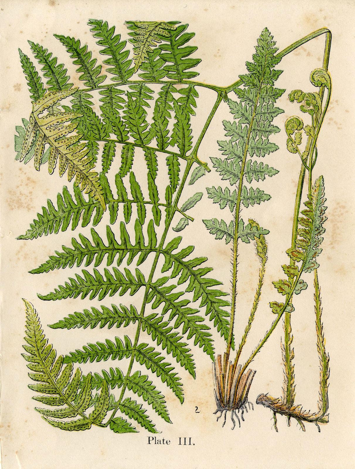 Plant-illustration-of-Fiddlhead-fern