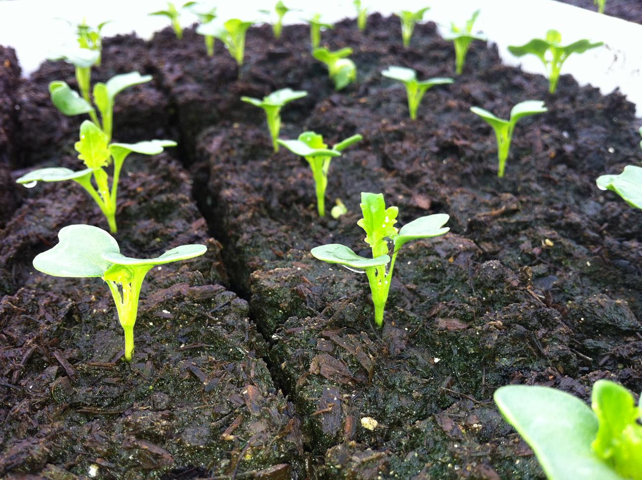 Seedlings-of-Fiddlehead-fern