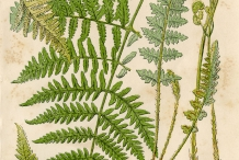 Plant-illustration-of-Fiddlhead-fern