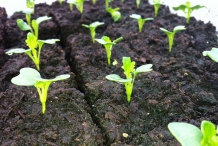 Seedlings-of-Fiddlehead-fern