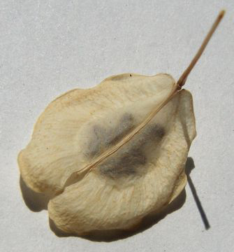 Dried-or-Ripe-fruit-of-Field-penny-cress