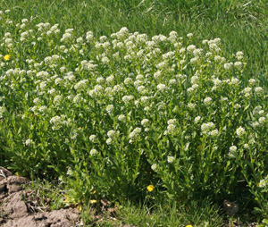Field-Pennycress-growing-wild