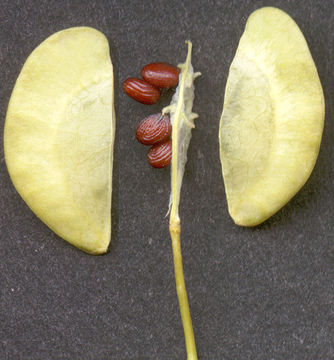Seed-pod-showing-dehiscence-of-Field-penny-cress